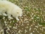コブシの花弁絨毯