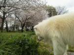 なんとか桜をバックに写そうと…
