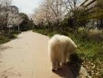 桜咲く時期まったり散歩