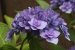 紫陽花『舞孔雀』