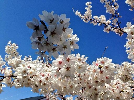 20140329自宅目の前の桜ちゃん-3 ss