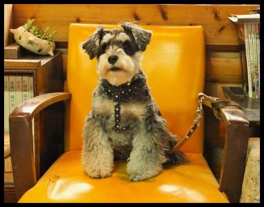 ジギーと黄色の椅子。