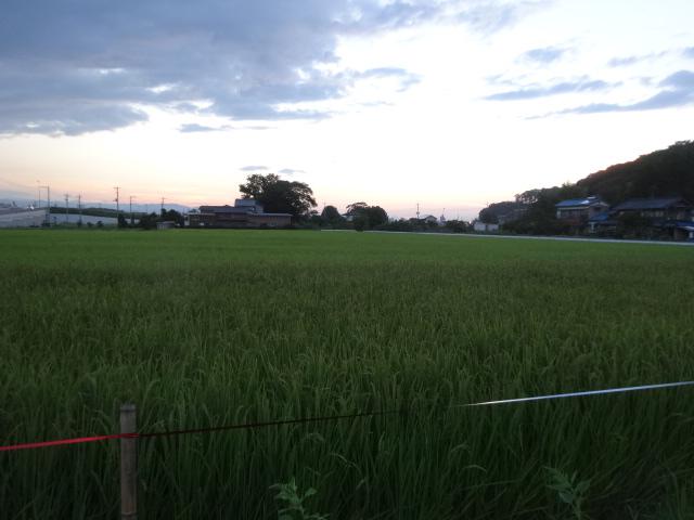 片足ミステリーサークル 009