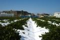 茶畑の残雪