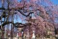 地蔵院のしだれ桜①