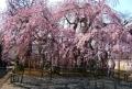 地蔵院のしだれ桜④