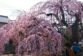 地蔵院のしだれ桜⑤