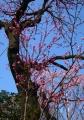 花桃(中国産)