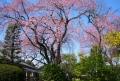 中院のしだれ桜①