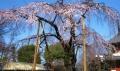 喜多院のしだれ桜①
