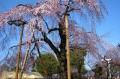 喜多院のしだれ桜②
