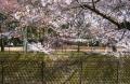 対岸の桜①