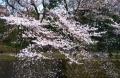 対岸の桜②