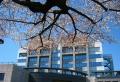 桜と庁舎①