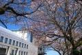 桜と庁舎②