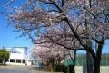 役場前の桜