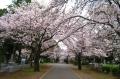霊園の桜並木①