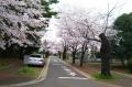 霊園の桜並木②