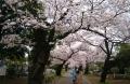 霊園の桜並木③