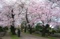 多種類の桜
