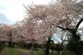 小金井桜①