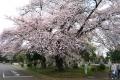 小金井桜②