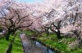 新河岸川の桜①