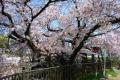 新河岸川の桜②