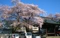蓮馨寺の桜①