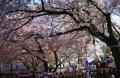 蓮馨寺の桜②