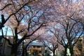 川越女子高前の桜並木