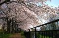 黒目川の桜①