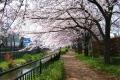 黒目川の桜②