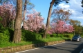 川越街道の桜