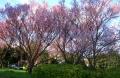 中央分離帯の緋桜