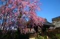 広源寺のしだれ桜