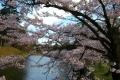 表門橋から見たお濠の桜