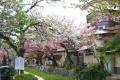 関雪桜(?)