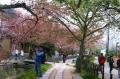 大半は葉桜
