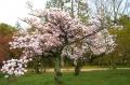 御所のぼたん桜