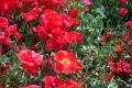 ケシの花②