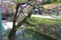 疎水の花筏(京都・哲学の道)