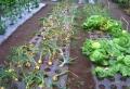 野菜の被害①
