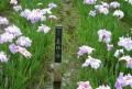 花菖蒲の名札