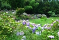 菖蒲田と紫陽花