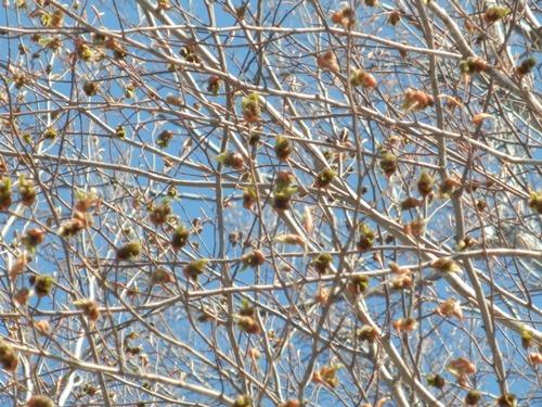 4-19ブナの芽