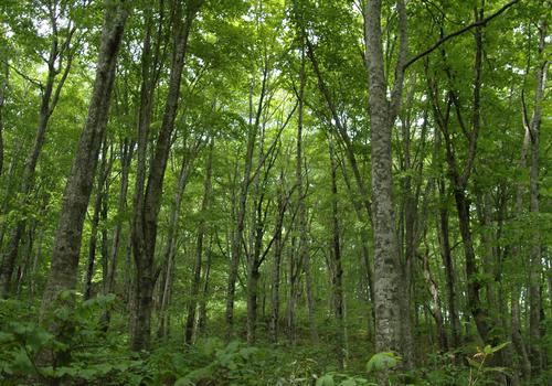 奥赤石遺伝資源保存林