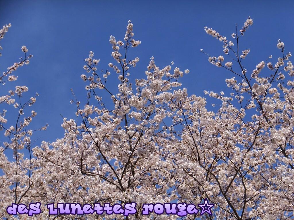 桜:外人墓地