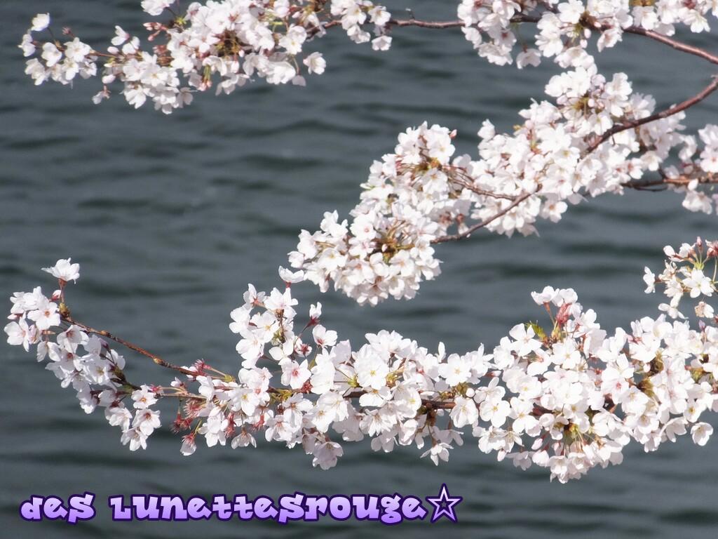 桜:新港パーク