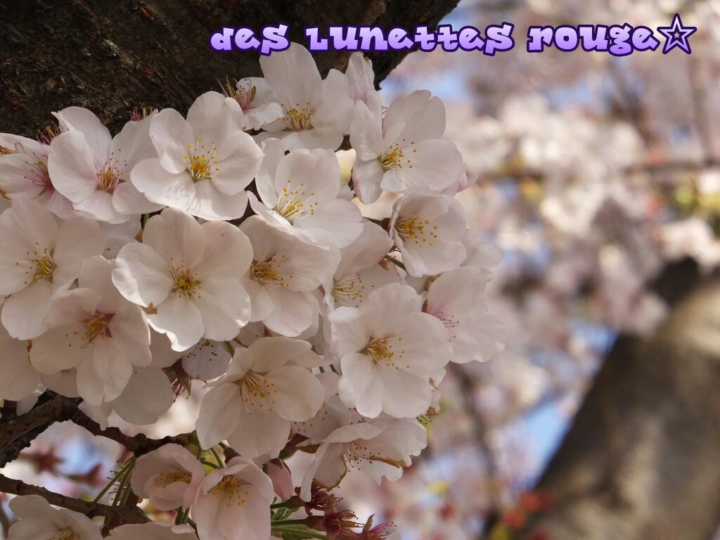 桜:ワールドポーターズ前